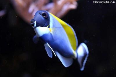 Weißkehl-Doktorfisch (Acanthurus leucosternon)