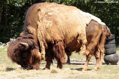 Amerikanischer Bison (Bison bison)