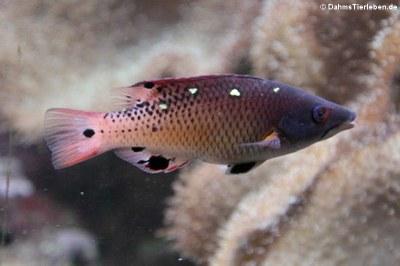 Diana Lippfisch (Bodianus diana)