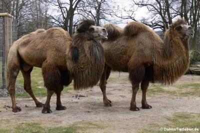 Trampeltiere (Camelus bactrianus)