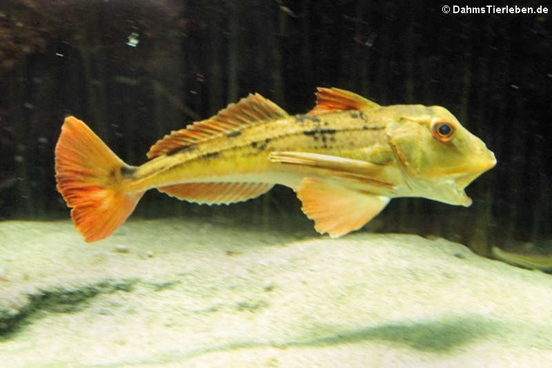 Chelidonichthys lucernus