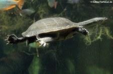 McCords Schlangenhalsschildkröte (Chelodina mccordi) in der Wilhelma Stuttgart