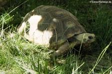 Waldschildkröte (Chelonoidis denticulata) in der Wilhelma Stuttgart