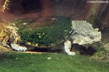 Fransenschildkröte (Chelus fimbriatus) in der Wilhelma Stuttgart