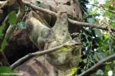 Zweifingerfaultier oder Unau (Choloepus didactylus) in der Wilhelma Stuttgart