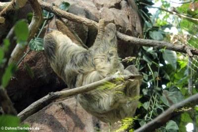 Zweifingerfaultier oder Unau (Choloepus didactylus)