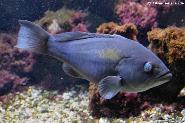 Epinephelus marginatus