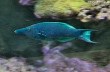 Blauer Vogel-Lippfisch (Gomphosus caeruleus) in der Wilhelma Stuttgart