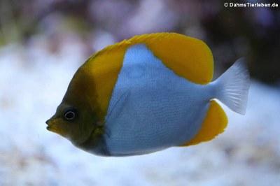Pyramiden-Falterfisch (Hemitaurichthys polylepis)