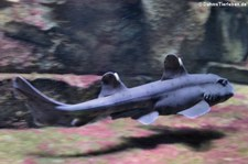 Hornhai (Heterodontus francisci) in der Wilhelma Stuttgart