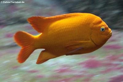 Garibaldifisch (Hypsypops rubicundus)