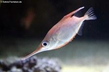 Gewöhnlicher Schnepfenfisch (Macroramphosus scolopax) in der Wilhelma Stuttgart