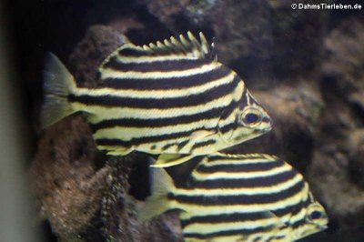 Nagasakifische (Microcanthus strigatus)