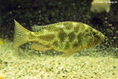 Vielfleckmaulbrüter (Nimbochromis polystigma)
