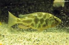 Vielfleckmaulbrüter (Nimbochromis polystigma) in der Wilhelma Stuttgart