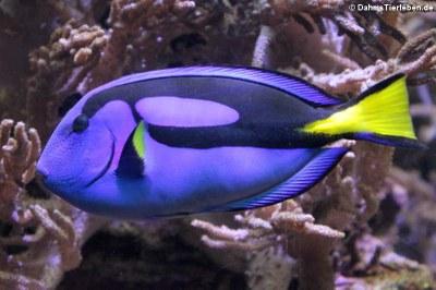 Paletten-Doktorfisch (Paracanthurus hepatus)