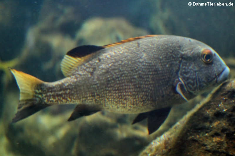 Plectorhinchus albovittatus