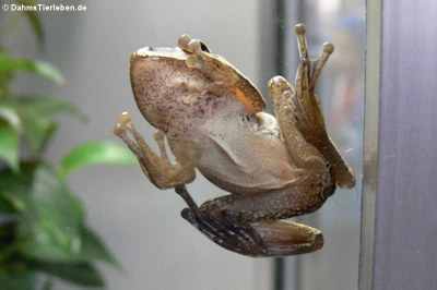 Weißbart-Ruderfrosch (Polypedates leucomystax)
