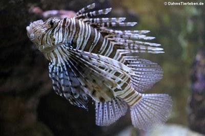 Pazifischer Rotfeuerfisch (Pterois volitans)