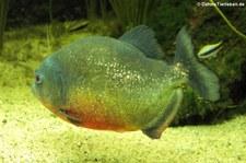 Natterers Sägesalmler oder Roter Piranha (Pygocentrus nattereri) in der Wilhelma Stuttgart