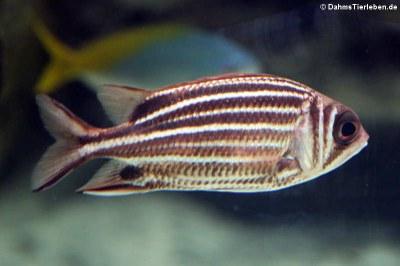 Rotstreifen-Husarenfisch (Rotstreifen-Husarenfisch)