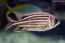 Rotstreifen-Husarenfisch (Sargocentron rubrum) in der Wilhelma Stuttgart
