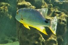 Segelflossen-Schnapper (Symphorichthys spilurus) in der Wilhelma Stuttgart