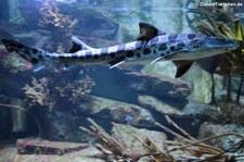Leopardenhai (Triakis semifasciata) in der Wilhelma Stuttgart