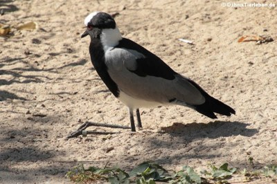 Waffenkiebitz (Vanellus armatus)
