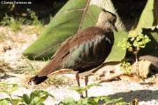 Kiebitz (Vanellus vanellus) im Euregiozoo Aachen