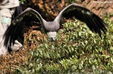 Mönchsgeier (Aegypius monachus) im Weltvogelpark Walsrode
