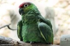 Ekuadoramazone (Amazona lilacina) im Weltvogelpark Walsrode