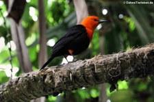 Rotkopfstärling (Amblyramphus holosericeus) im Weltvogelpark Walsrode