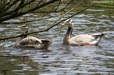 Streifengänse (Anser indicus) im Weltvogelpark Walsrode