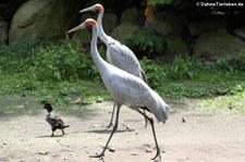 Brolgakranich (Antigone rubicunda) im Weltvogelpark Walsrode