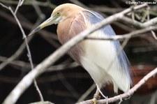 Prachtreiher (Ardeola speciosa) im Weltvogelpark Walsrode