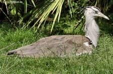 Koritrappe (Ardeotis kori) im Weltvogelpark Walsrode