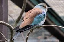 Blauracke (Coracias garrulus) im Weltvogelpark Walsrode