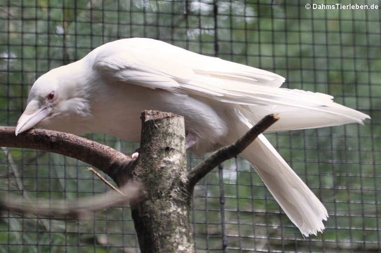 Corvus corone corone (albino)