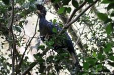 Riesenturako (Corythaeola cristata) im Weltvogelpark Walsrode