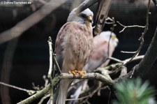 Rötelfalke (Falco naumanni) Im Weltvogelpark Walsrode