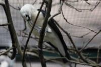 Sichelschnabelvanga (Falculea palliata) im Weltvogelpark Walsrode