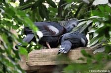 Fächertauben (Goura victoria) im Weltvogelpark Walsrode
