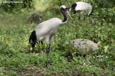 Mandschurenkranich (Grus japonensis) im Weltvogelpark Walsrode