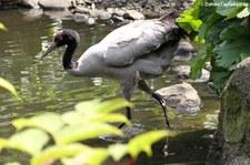 Schwarzhalskranich (Grus nigricollis) im Weltvogelpark Walsrode