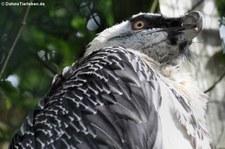 Bartgeier (Gypaetus barbatus) im Weltvogelpark Walsrode