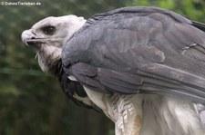 Harpyie (Harpia harpyja) im Weltvogelpark Walsrode