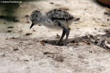 Junger Amerikanischer Stelzenläufer (Himantopus mexicanus) im Weltvogelpark Walsrode