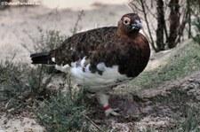 Moorschneehuhn (Lagopus lagopus) im Weltvogelpark Walsrode