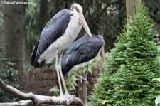 Sunda-Marabus (Leptoptilos javanicus) im Weltvogelpark Walsrode